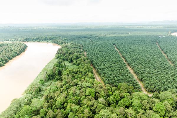 熱帯雨林は河岸に追いやられ、アブラヤシのプランテーションが一帯に広がっています。